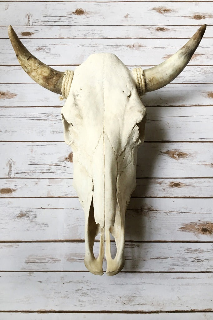 ShopMucho genuine cow skulls with horns home decor