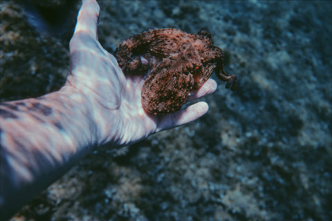 A tiny octopus swims into human hand