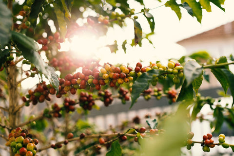 The berries of a coffee plant grow out in nature. The sun peaks through the green, red and yellow leaves and fruit.