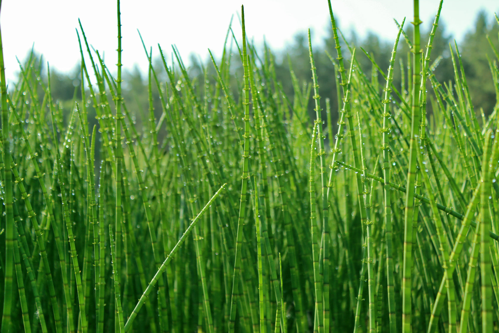 October Herb of the Month: Horsetail