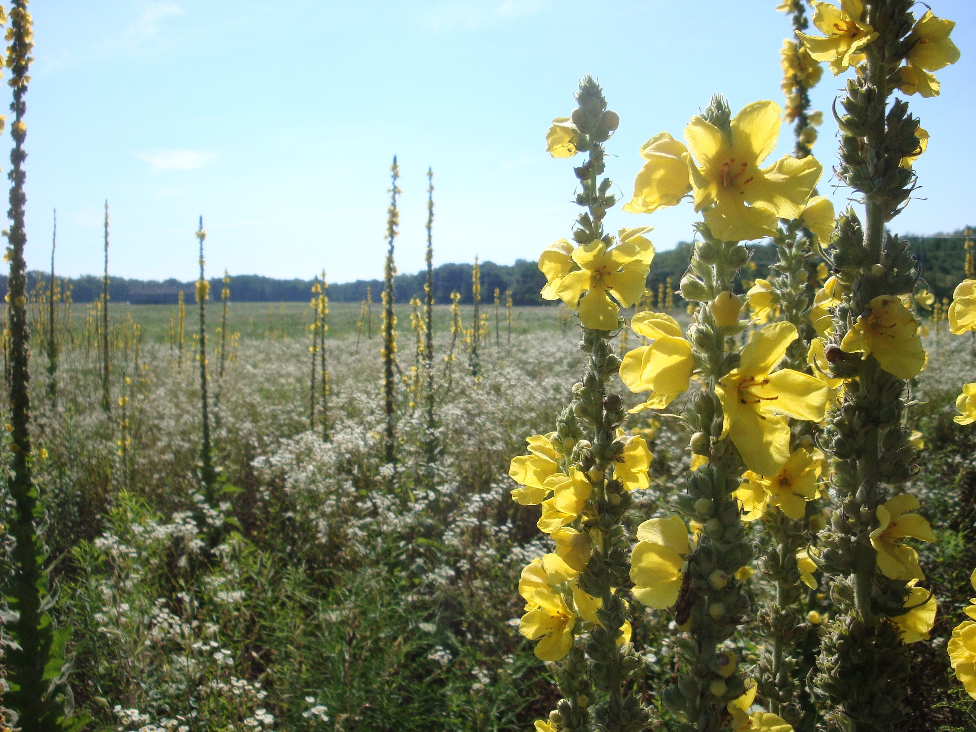 January Herb Of The Month: Mullein