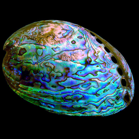 Whole Paua Shell