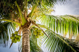 HOW TALL DOES A COCONUT PALM TREE GROW?