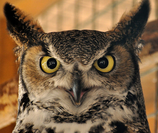 Great horned owl looking right at the camera