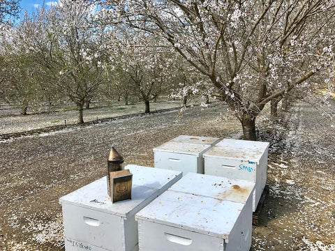 bee hives in the almond orchard on a sunny day with white blossoms