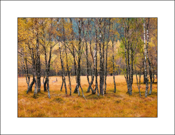 Birch Trees in Fine Art Landscape