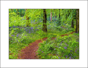 Forest bluebells in Portglenone Co, Antrim in Fine Art Landscape by John Taggart