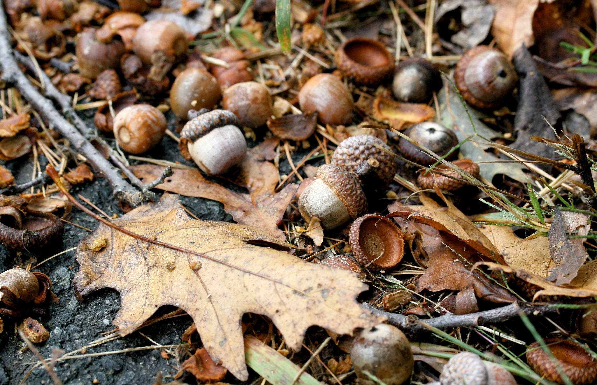 What to do with Fallen Acorns