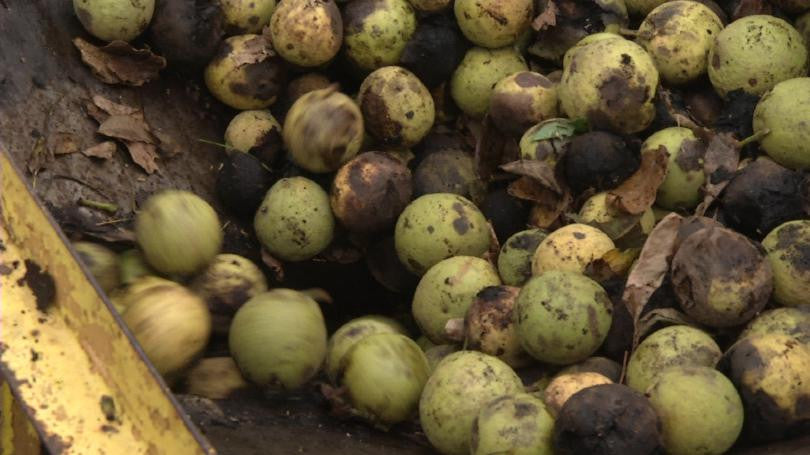 Why You Should Harvest Black Walnuts