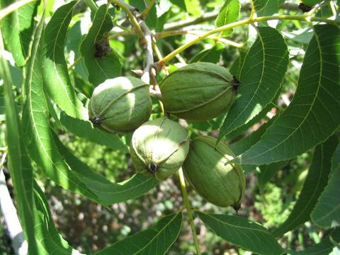 How to Care for Pecan Trees