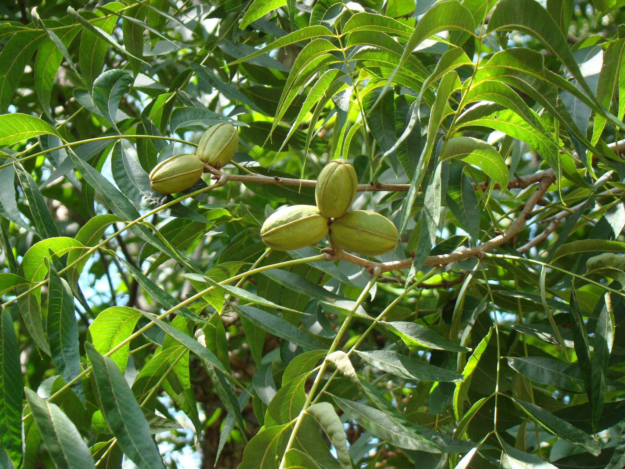 Should Green Pecans be Picked Up?
