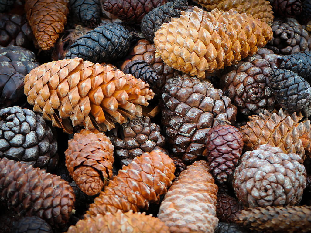 The Healing Power of Pine Cones