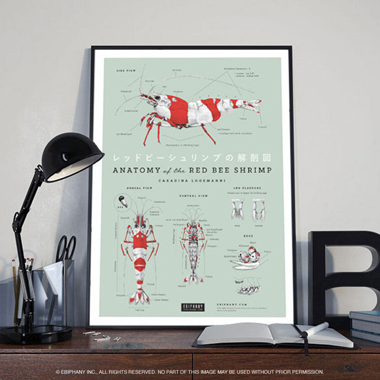 Anatomy of The Red Bee Shrimp Poster – Ebiphany