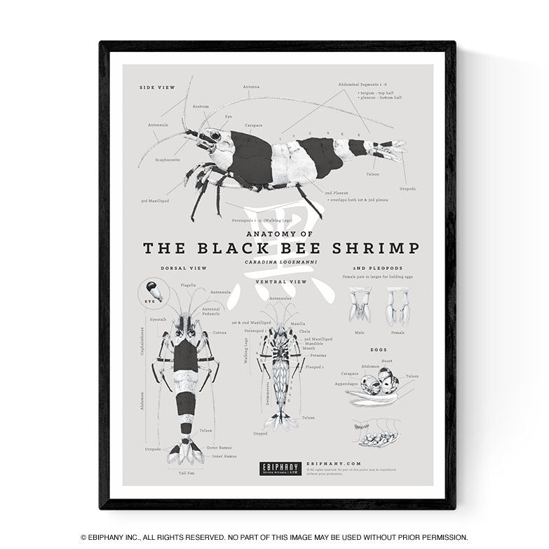 Anatomy of the Black Bee Shrimp Poster – Ebiphany