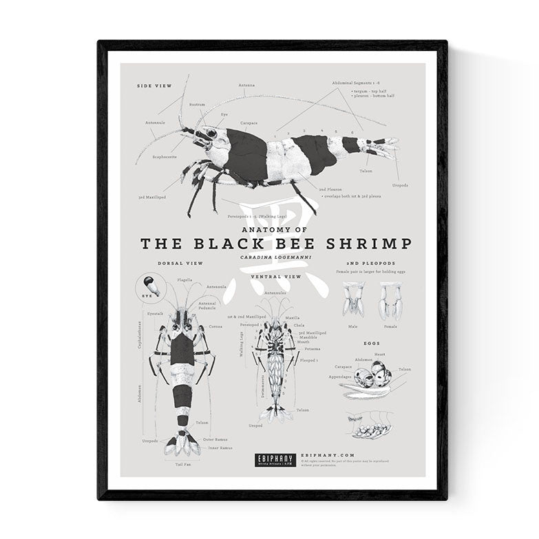 Anatomy of the Black Bee Shrimp Poster