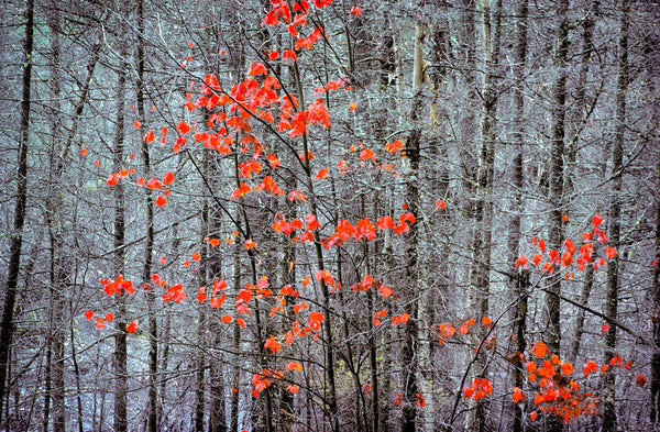Maple Tree, Algonquin Park
