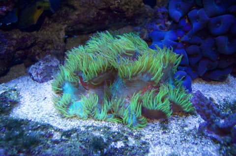 LPS-AND-MIX-REEF-TANK