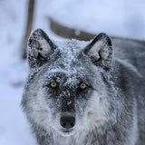 Yamnuska Wolfdog Sanctuary - Intro Tour