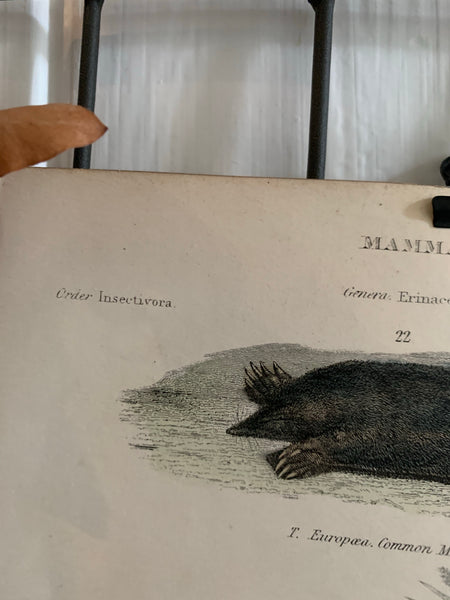 19th Century Coloured Engravings of Mammals: Hedgehogs, Shrews, Moles & Dogs