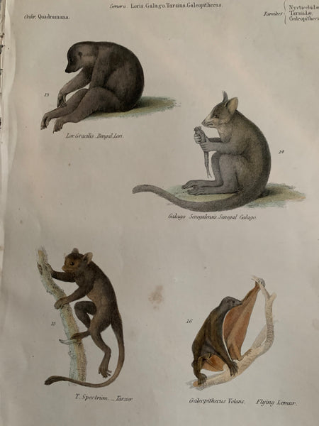 19th Century Coloured Engravings of Mammals: Primates