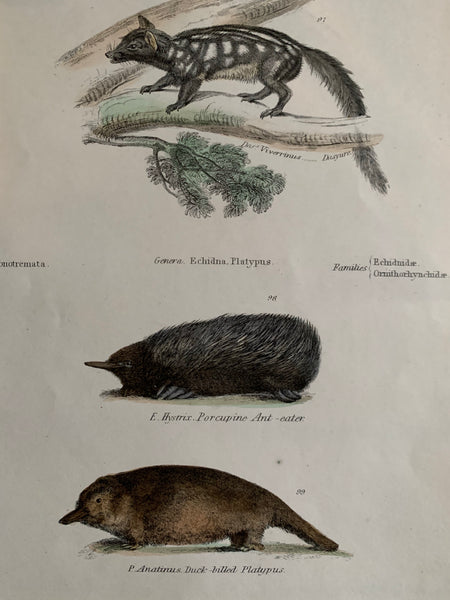 19th Century Coloured Engravings of Mammals: Platypus, Ant Eater & Fishing Cat