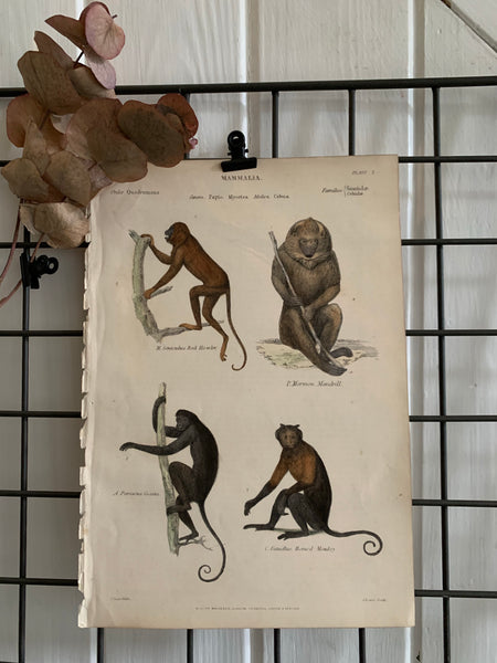 19th Century Coloured Engravings of Mammals: Monkeys