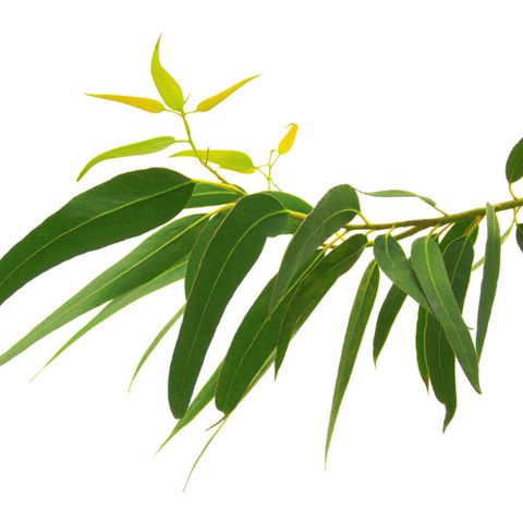 Eucalyptus staigeriana (Lemon Ironbark) - 10ml
