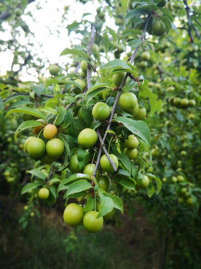 What Is Kakadu Plum And What Are Kakadu Plum's Skincare Benefits?