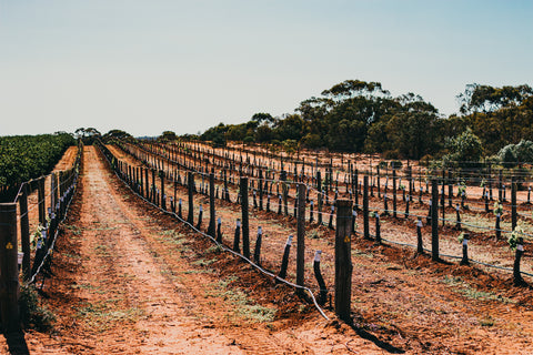 a freshly planted Riverland Vineyard