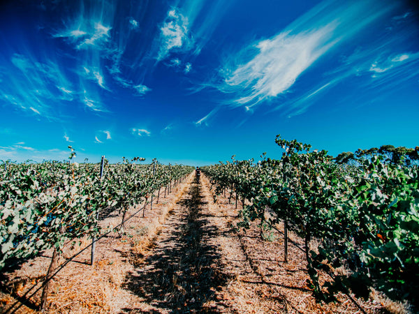 dolcetto vineyard in the clare valley