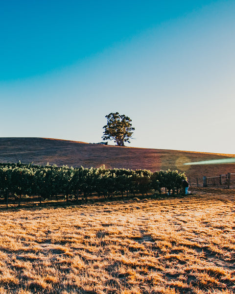 a lone tree in an adelaide hills vineyard