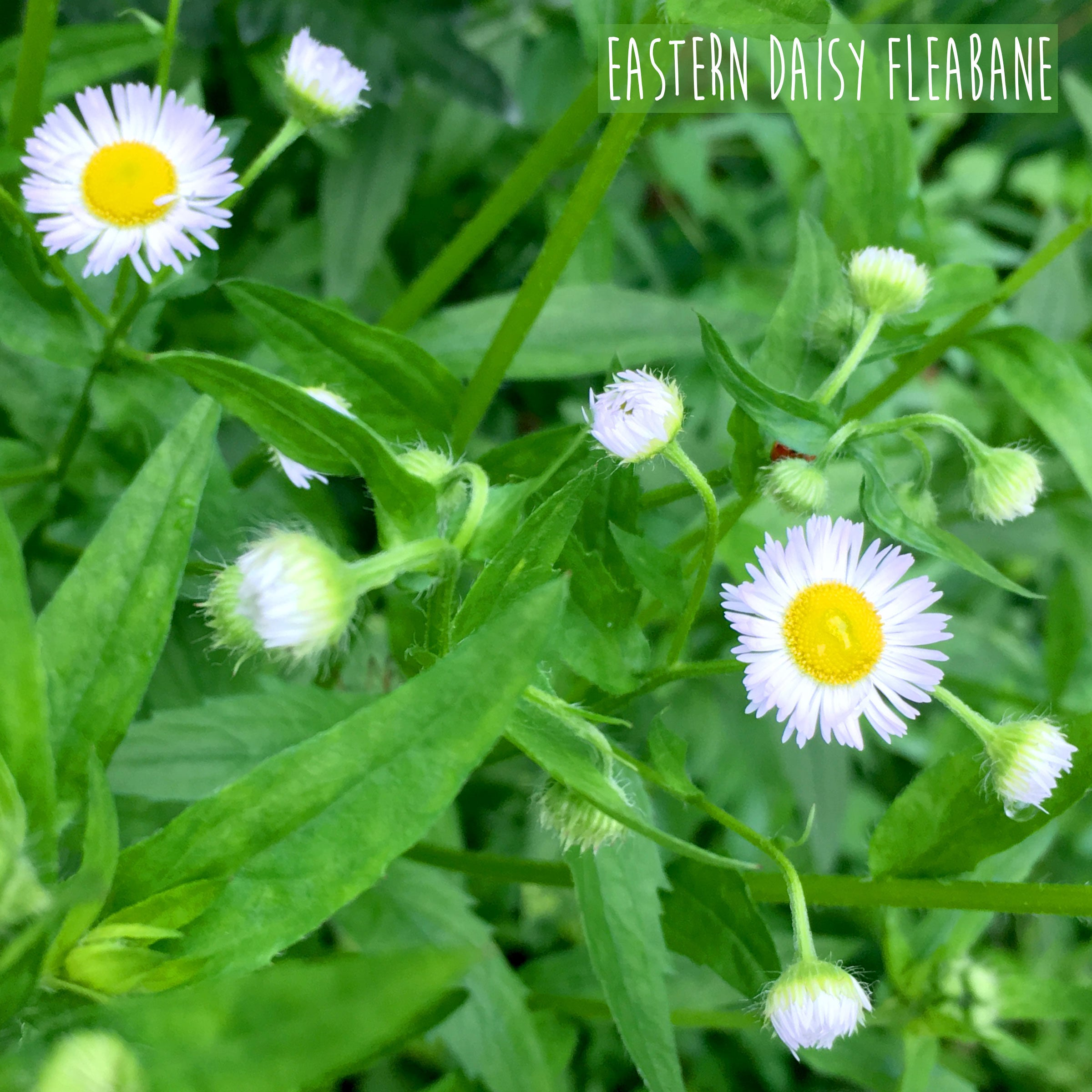 Does Your Garden Grow Wild - The Eastern Daisy Fleabane