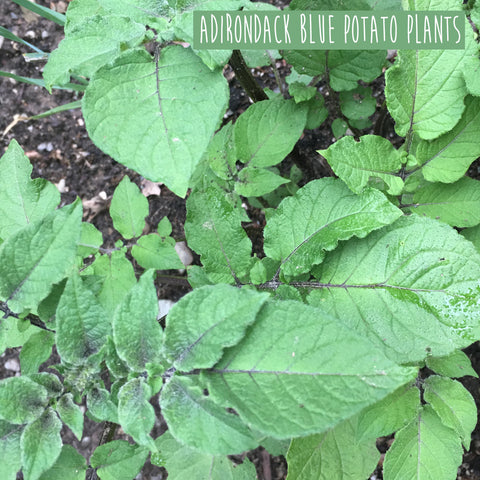 Organic Adirondack Blue Potato Plants