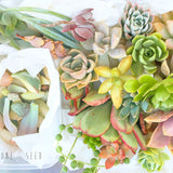 Assorted Succulicious Starter Pack - Soul Made Boutique