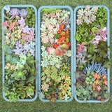 Assorted Succulent Cuttings (Miniatures) - Soul Made Boutique