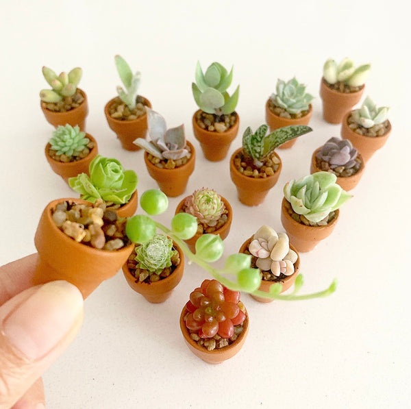 Assorted Succulent Cuttings (Miniatures) with Pots