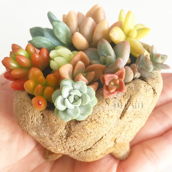 Assorted Succulent Cuttings (Miniatures) Kit - Soul Made Boutique