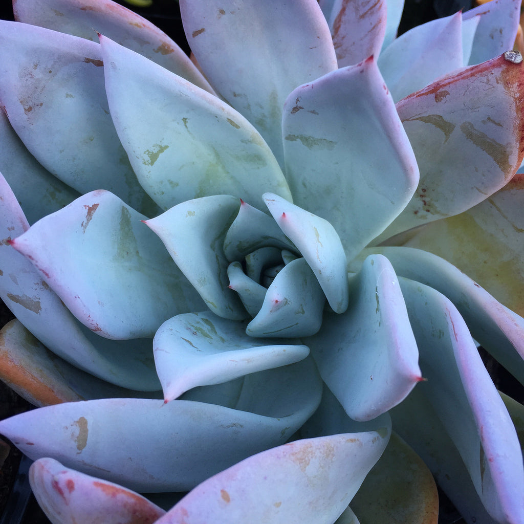 Plant - Echeveria Mexican Giant