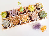 Assorted Succulent Cuttings (Rosette) Wooden Crate Square Pots