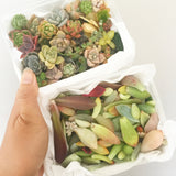 Assorted Mini Succulicious Starter Pack - Soul Made Boutique