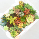 Assorted Mini Succulicious Starter Pack