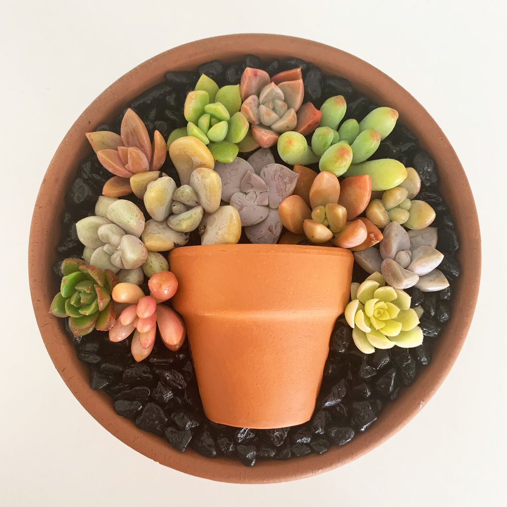 Assorted Succulent Cuttings (Miniatures) Terracotta Kit