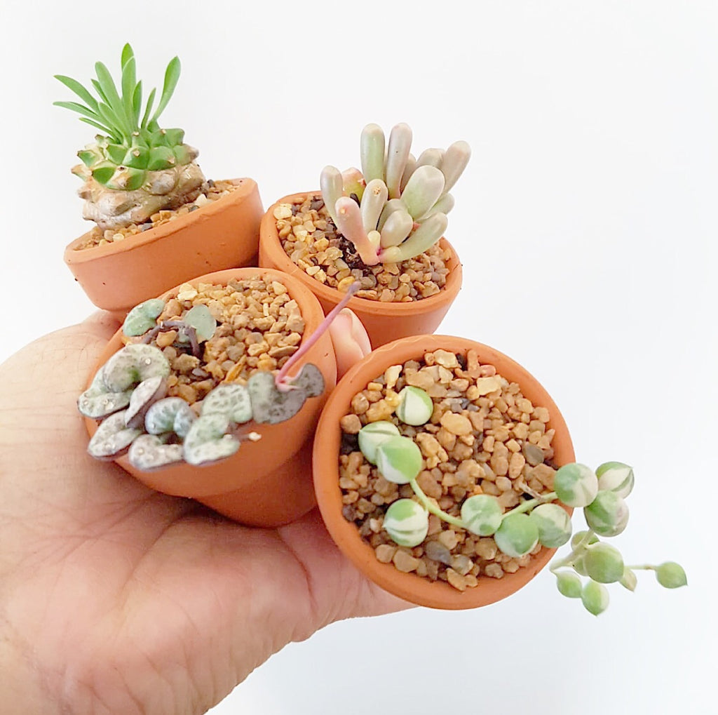 Assorted Succulent Plants (Small) with Pots