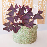 Plant - Oxalis Triangularis (Purple Shamrock)