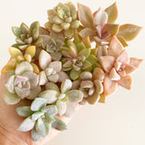 Assorted Succulent Cuttings (Pink, Purple, Peach)