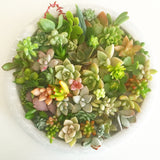 Assorted Succulent Cuttings (Miniatures) with Pots - Soul Made Boutique