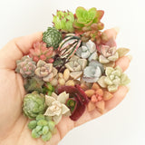 Assorted Succulent Cuttings (Miniatures) Gift Box - Soul Made Boutique