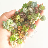 Assorted Succulent Cuttings (Miniatures) Kit