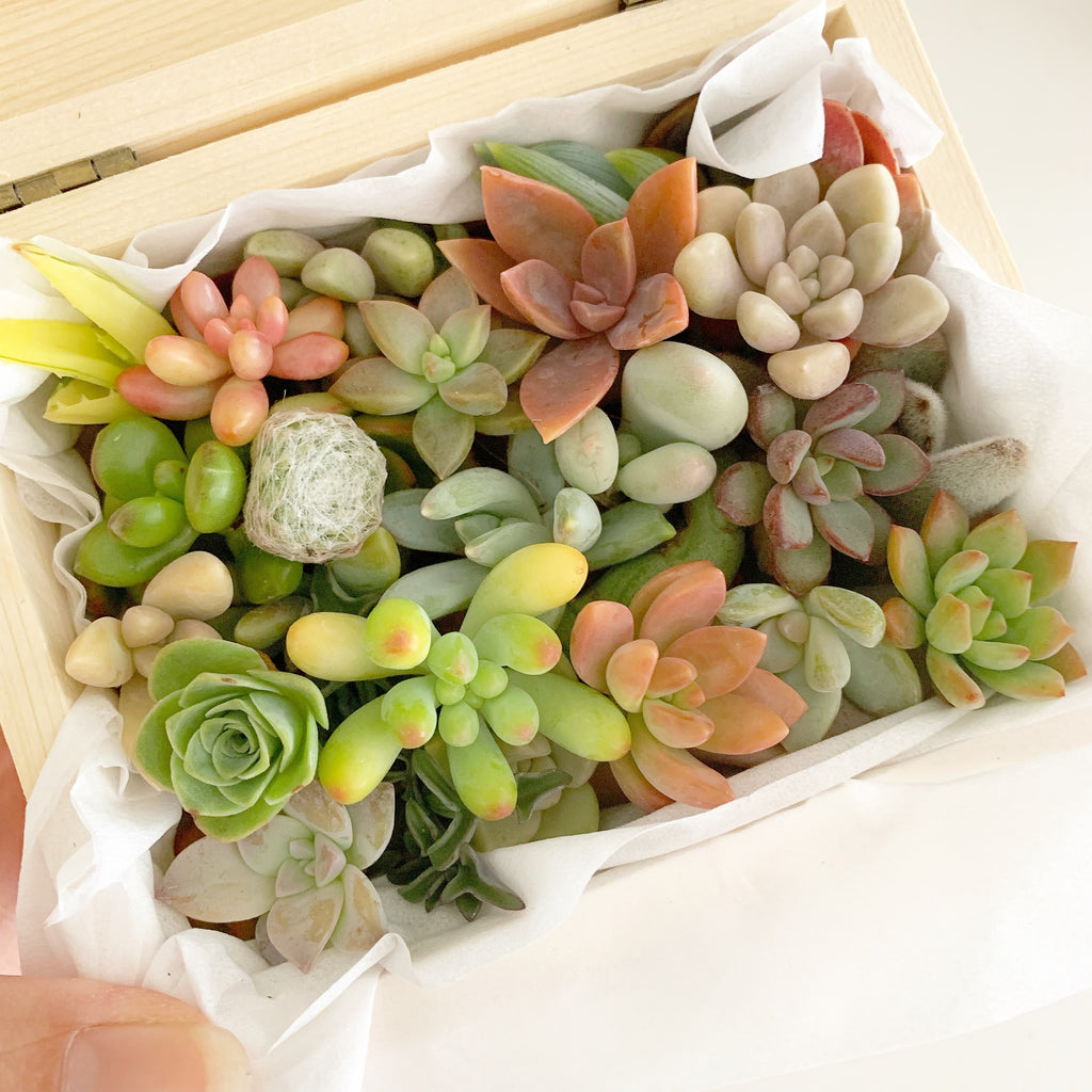 Assorted Succulent Cuttings (Miniatures) Wooden Gift Box
