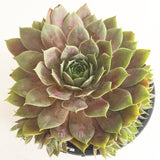 Plant - Sempervivum Purple Haze